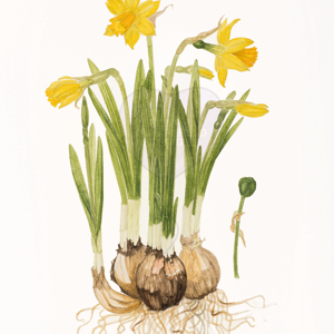 'Narcissus 'Tête-à-tête'' by Rosemary Lindsay (also available as a greetings card)