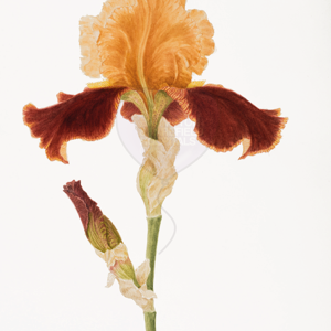 'Iris Supreme Sultan' by Helia Nicolle (also available as a print)