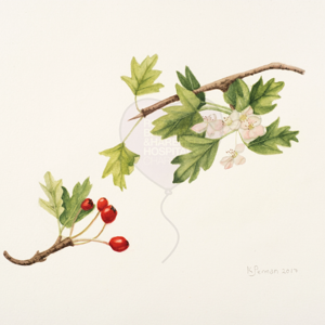 'Crataegus monogyna' by Kim Perman