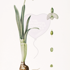 'Galanthus nivalis' by Jill Mayhew (also available as a greetings card)