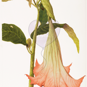 'Brugmansia sanguinea' by Patricia Besse (also available as a greetings card and as a print)
