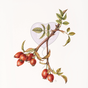 'Hips of Rosa canina' by Sally Pond (print)