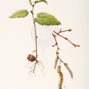 'Hazel corylus arellana' by Pearl Bostock (also available as a print)